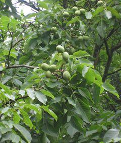 File:Persianwalnut.jpg