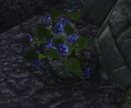 Blue Morning Glory Dig Spot