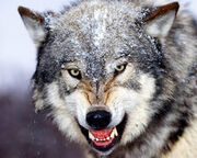 Grey-wolf-angry