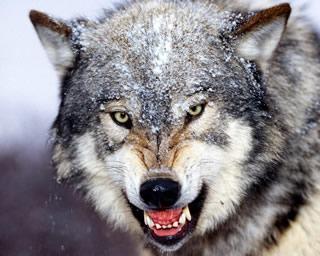 File:Grey-wolf-angry.jpg
