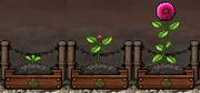 Dahlia Gardening