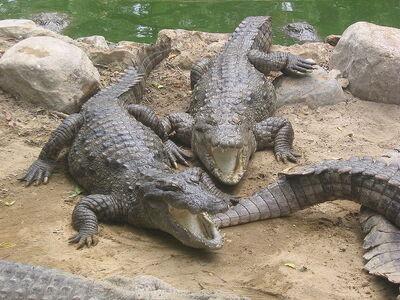 800px-Marsh Crocodiles basking in the sun