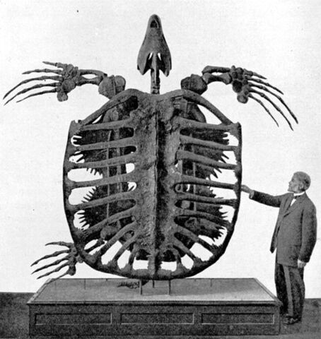 File:Archelon skeleton.jpg