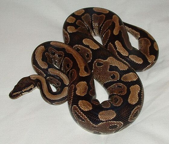 File:Ball python.jpg