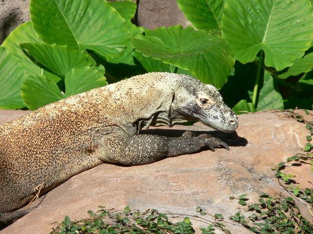 File:Komodo dragon 3.jpg