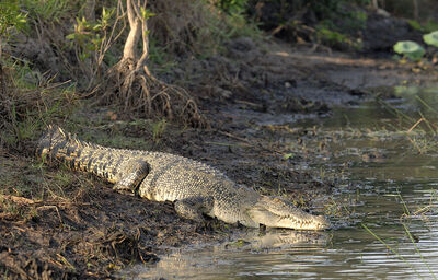 800px-Saltwater Crocodile on a river bank