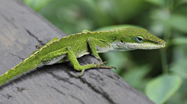 File:Anole Lizard.jpg