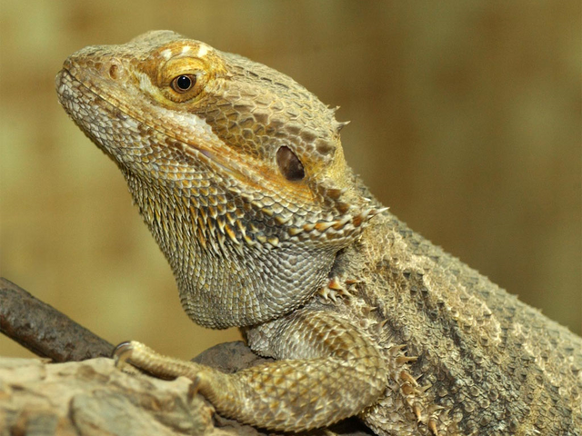 File:BeardedDragon.png