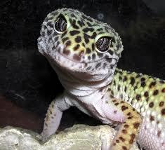 File:Leopard gecko.jpg