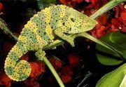 Mellers-chameleon