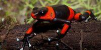 Lehmann's poison dart frog