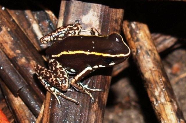 File:Phyllobates Lugubris 01.jpg