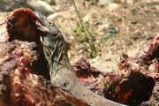 Komodo Dragon Eating--meat