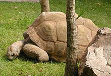 File:Tortoise.aldabra.750pix.jpg