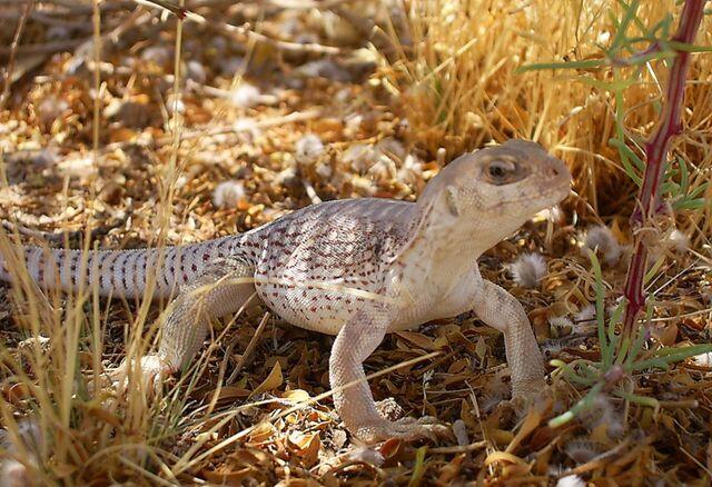 File:Desert Iguana.jpg