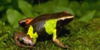 Beautiful Mantella