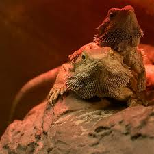 File:Twobeardies.jpg
