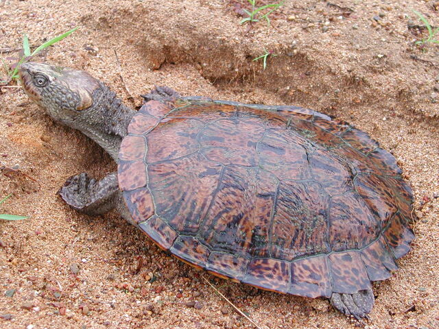 File:Saw-shelled Turtle.jpg