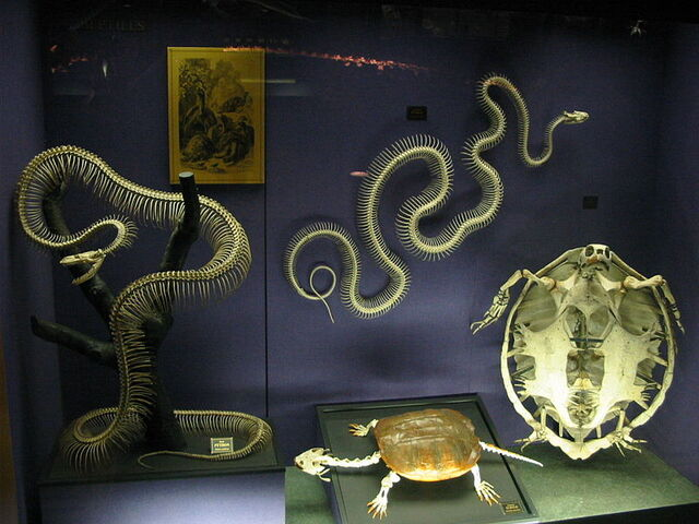 File:Snake Skeletons.jpg