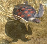 Photo of 2 swimming turtles