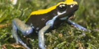 Blue-legged Mantella