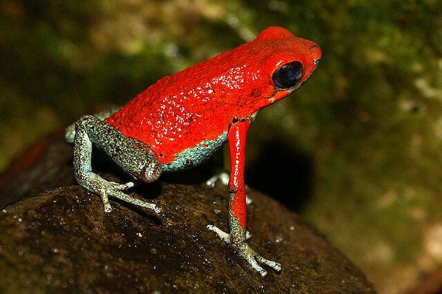 File:Granular poison frog.jpg
