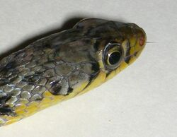 AB027 buff striped keelback 10