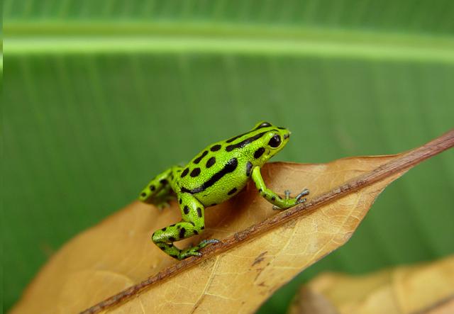 File:R. viridis.png