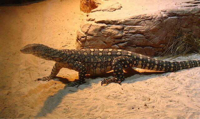 File:Perentie at Sydney Wildlife World.jpg