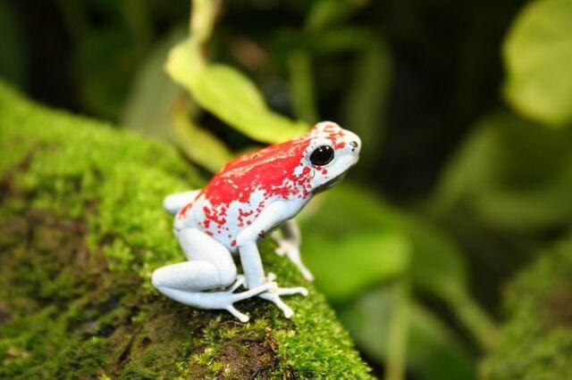 File:Canada flag frog.jpg