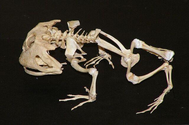 File:Ceratophrys Cornuta Skeleton.jpg