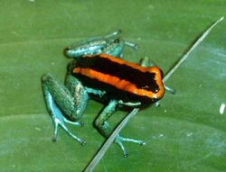 Phyllobates Vittatus