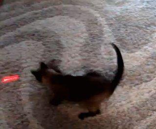 File:Cat-chasing-laser-light.jpg