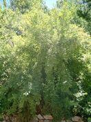 Spindle Bush