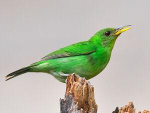 Mainpage-Navmap-Thumb-Female-Green-Honeycreeper
