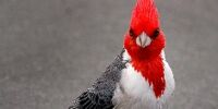 Red-crested Cardinal/Gallery