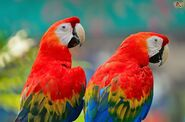 Two Scarlet Macaws Together
