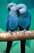 Spix s macaw by auroraexpress-d5oe4kz