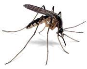 Mosquito-illustration 360x286