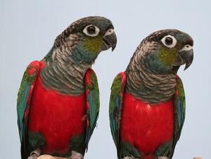 Mainpage-Navmap-Thumb-Crimson-bellied-Parakeet