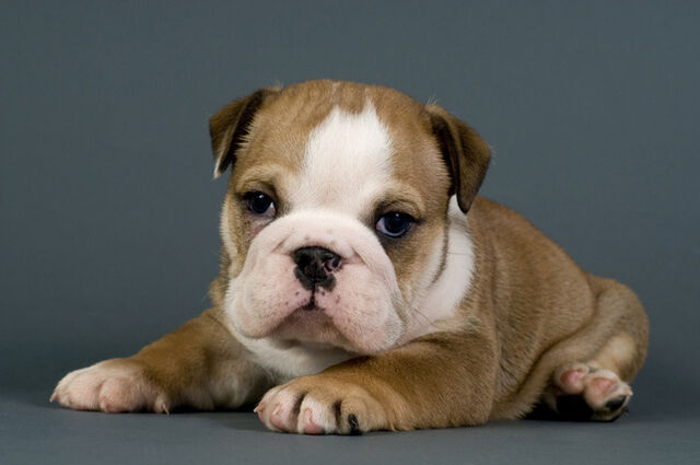 File:6797Bulldog puppy.jpg