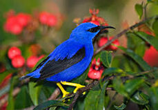 Purple Honeycreeper 3