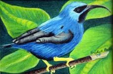 Purple Honeycreeper 4