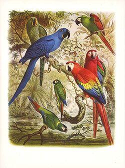 Macaw draw