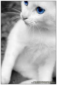 File:Blue and white Kitty.jpg