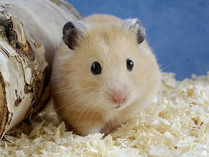Hamster Colours And Breeding Help – Wonderful Image Gallery