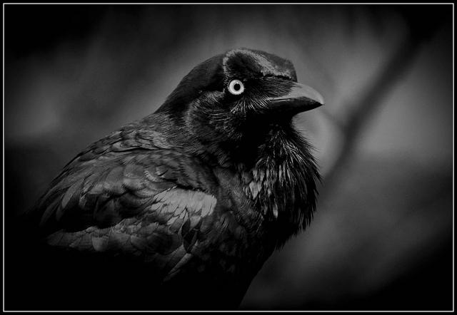 File:Cot crow.jpg
