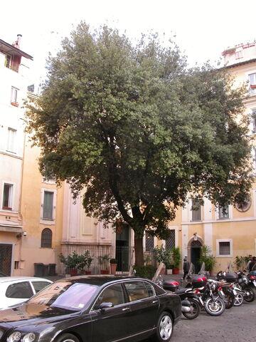 File:2011 Maria in Quercia, oak tree.jpg