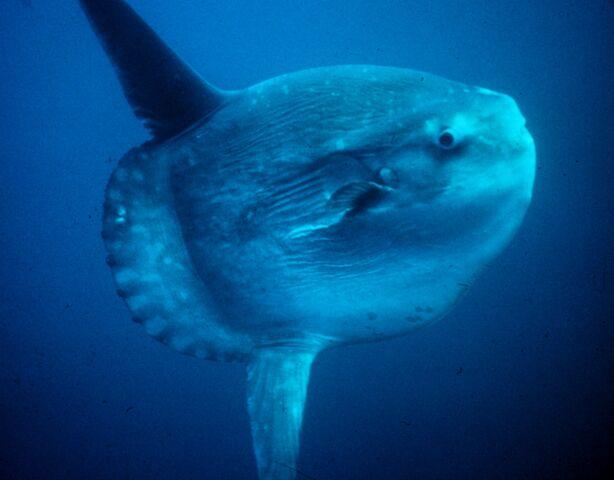 File:Viktor6665 13759 Ocean sunfish Mola mola.jpg