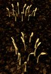 Barley2